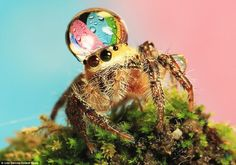 Water good idea: Photographer Uda Dennie set up these pictures of tiny droplets of water balanced in the head of this jumping spider, in his garden, in Batam Island, Indonesia. Jumping Spider, 1 Gif, Water Droplets, Animal Memes, Stuffed Animals, Creepy, Scary, Funny Pictures, Silly Photos