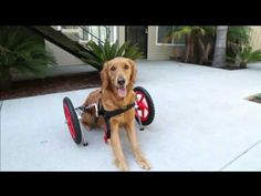 SitGo dog wheelchair demo Video HD 1080p - YouTube