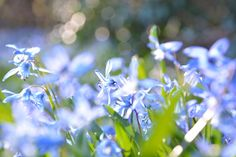 Sunny spring meadow with scillas Blue Spring Flowers, Blue Springs, New Years Sales, Sunnies, Anna, Bloom, Plants, Photography, Photograph