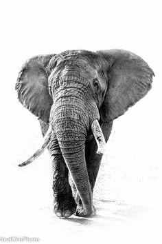 Bull Elephant by AndChisPhoto Tatoo Elephant, Image Elephant, Bull Elephant, Elephant Love, Elephant Trunk, Majestic Animals, Animals Beautiful, Cute Animals, Elephant Pictures