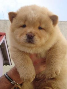 Dog / Bear hybrid  ;)  There are few things cuter than a Chow Chow puppy...  ~~  Houston Foodlovers Book Club