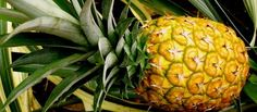 Of course, the #Hawaii island that once supplied 75% of the world's pineapples may just have one left for me!