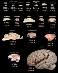 Comparative size of various brains and the estimated total number of neurons in them