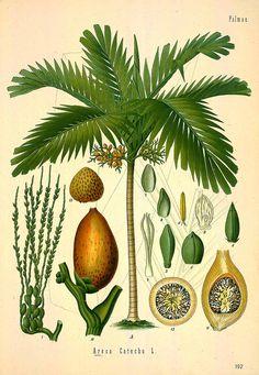 Betel nut palm http://plantillustrations.org/ILLUSTRATIONS_HD/31460.jpg