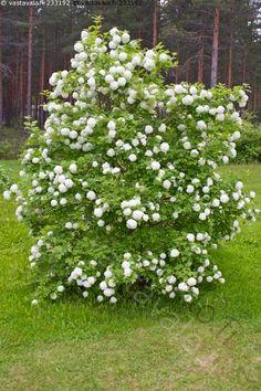 lumipalloheisi. Pensas kasvaa korkeahkoksi, mutta sitä voi aina pitää pienempänä leikkaamalla. Flowers, Plants, Plant, Royal Icing Flowers, Flower, Florals, Floral, Planets, Blossoms