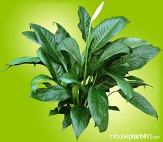 How to Grow a Peace Lily - Spathiphyllum Care Guide Peace Lily Plant Care, Peace Lily Flower, Flowering House Plants, Indoor Flowers, Indoor Plants, Indoor Garden, Air Cleaning Plants, Plant Diseases, Gardens