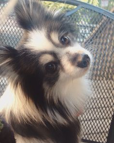 What sweet eyes Pickle has!  Pickle the Pomeranian papillon mix! Instagram ohhmypickles