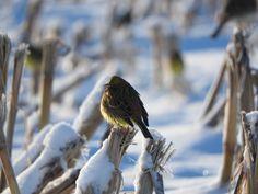 Yellowhammer Wild Birds, Wordpress, Animals, Fotografia, Animales, Animaux, Animal, Animais