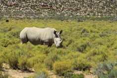 Help Save Rhinos and Win | http://www.everintransit.com/help-save-rhinos/