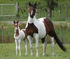 Resultado de imagen de caballos españoles pura sangre marrones