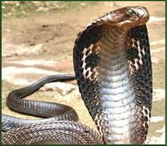 King Cobra Pictures Snake Poisonous Animals Snakes