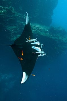 _DSC5787 | Pacific Manta | Aleks Bartnicka | Flickr