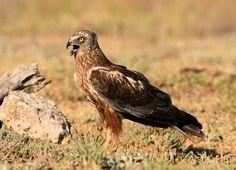 Bruine Kiekendief - Vogels - Bruine Kiekendief