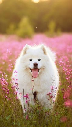 Samoyed Dogs : Dog Wallpaper, Dog Wallpaper for iPhone, Dogs Wallpaper, Lovely Fluffy Dog Samoyed Dogs, Pet Dogs, Dog Cat, Doggies, Cute Baby Animals, Animals And Pets, Funny Animals, Beautiful Dogs, Animals Beautiful