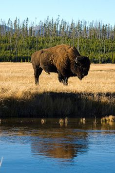 Bison Reflection, Yellowstone National Park, WY We seen thousands of Buffalo when we were there.It was amazing! by lolita Buffalo S, Buffalo Animal, American Bison, Native American Art, Wildlife Photography, Animal Photography, Buffalo Pictures, Bison Pictures, Yellowstone National Park
