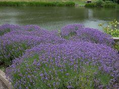 Echter Lavendel - Lavandula angustifolia