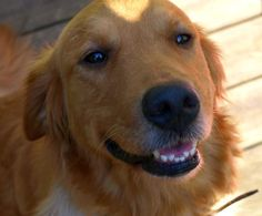 This is Karma - 5 yrs. She was an owner surrender due to not getting along with the other dog in the family. She is spayed, current on vaccinations, potty trained, walks well on leash, good with dogs and kids. Adopt A Golden Birminghma, AL. - http://www.adoptagoldenbirmingham.com/orphans_detail.asp?id=393