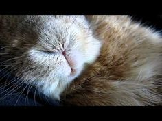 SLEEPING LOP BUNNY:  My lop bunny when he is really relaxed in your arms will start snoring as he sleeps, Very cute!