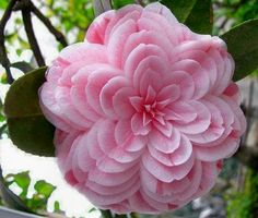 Flower Garden Powder Pink Camelia seeds - 50 Quality Fresh seeds Beautiful Pink Camelias for your garden. Start inside now for a beautiful plant to transfer this Spring!