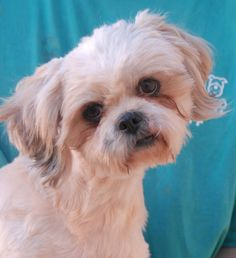 Puff may be one of the cutest dogs on the planet, but he certainly doesn't know it.  He feels worthless, being the victim of severe neglect, but he is beginning to build self-esteem and confidence.  Puff is a Shih-Tzu, 2 years young, a neutered boy, housetrained, and good with other dogs, debuting for adoption today at Nevada SPCA (www.nevadaspca.org).