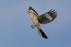 Northern Mockingbird (Mimus polyglottos) - photo by Euan Reid