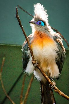 Crested Coua bird shows off its colorful eyes and feathers.- title All puffed up!