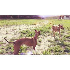 Sylvie admiring her soul sister @iggyjoey  #ig #iggy #italiangreyhound #dogs #dogsoftoronto  #dogsofinstagram #trinitybellwoods #parklife #girllookatthatbody #sylvietheiggy #iggyjoey