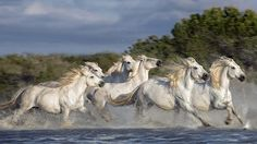 Despite having relatively unknown origins, the horses are considered to be one of the old