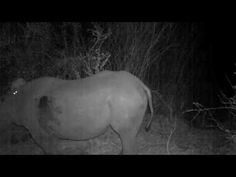 This amazing never-before-seen footage captured by Wildlife ACT reveals a genet riding on a critically endangered black rhino in Hluhluwe-iMfolozi Game Reserve, South Africa. Volunteer In Africa, Unlikely Animal Friends, Wildlife Biologist, Still Picture, Animal Science, Game Reserve, Wildlife Conservation, Rhinoceros, Animals