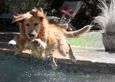 Golden Retriever Dog Diving in the Swimming Pool