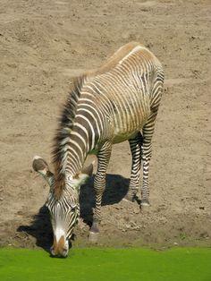 Zèbre du zoo de La Palmyre | Pays Royannais Charente-Maritime Tourisme #charentemaritime | #zoo | #LaPalmyre | #animaux