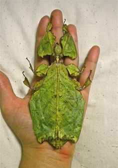 leaf insect Phyllium giganteum. The Walking Leaf Insect is one of the most remarkable leaf mimics in the animal kingdom. It occurs from Southeast Asia to Australia. Leaf insects use camouflage to take on the appearance of leaves. They can be as long as 7 inches.