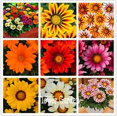 Time-Limit!!Gazania seeds multicolor mixed Seed beautiful gazania Flower seeds,  100pcs/bag ,#PXXAT6
