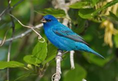 Field guide for the Indigo Bunting. This beautiful blue bird is found through out much of the eastern U.S. and can be seen along roadsides, in old fields, and along the edges of woods.