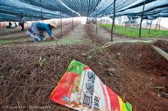 A discarded pesticide bag lies on the ground as a farmer works on her pseudo-ginseng farm.