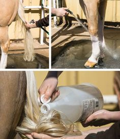 TOP-LEFT: Instead of bagging your horse's tail, leave it loose and wash it more often to reduce yellowing and stains. TOP-RIGHT: Rinse all traces of shampoo thoroughly out of the mane, tail, and legs to avoid dulling the white. ABOVE: Apply a pre-rinse of white vinegar for several minutes to brighten your horse's mane and tail.
