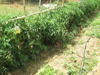 Ιούνιος στο αγρόκτημα Gardening, Planting, Athens, Tape, Plants, Lawn And Garden, Athens Greece, Horticulture