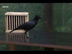 les corbeaux ont ils une cervelle d'oiseau? (2)