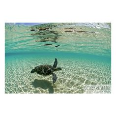 Endangered Hawaiian Sea Turtles Surfing, in Stunning Underwater Photos... ❤ liked on Polyvore featuring backgrounds, pictures, animals, photos and beach