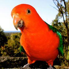 Male Australian King-Parrot.
