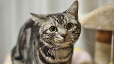 Descubre la raza de gato American shorthair
