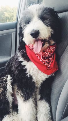 I want a sheepadoodle Cute Dogs And Puppies, Big Dogs, I Love Dogs, Doggies, Animals And Pets, Baby Animals, Cute Animals, Sheepadoodle Puppy, Goldendoodles