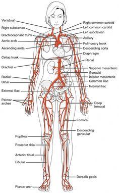 News Health, Health And Fitness Tips, Health Advice, Health Diet, Human Body Anatomy, Human Anatomy And Physiology, Nerve Anatomy, Arteries And Veins, Medical Anatomy
