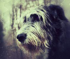 Irish Wolfhound. Really like this photo