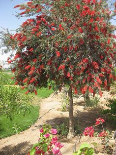 EXPLORE # 67 highest position JULY you all Bottlebrush is a small but spectacular evergreen tree or shrub. Of the family Myrtaceae it is well known as Callistemon or Bottlebrush Tree. Australian Native Garden, Australian Plants, Florida Landscaping, Backyard Landscaping, Love Garden, Dream Garden, Baumgarten, Bottle Garden, Bottle Brush Trees