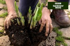 Generate new hostas for free by lifting and dividing congested clumps - Monty Don demonstrates how in this short video clip from…