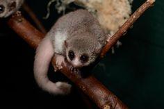 Fat tailed dwarf lemur - only known hibernating primate