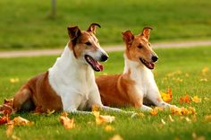 Beautiful Smooth Collies from overseas,