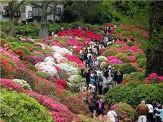Azalea festival, Shiofune Kannon park, Tokyo, Japan