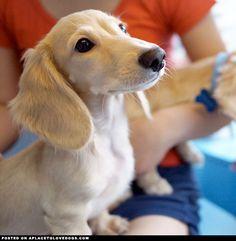 Handsome Mini Dachshund that I shall name Fitzwilliam Darcy! Fitz for short! Dachshund Funny, Mini Dachshund, Dachshund Puppies, Cute Puppies, Cute Dogs, Daschund, Cream Dachshund, Golden Dachshund, Baby Animals